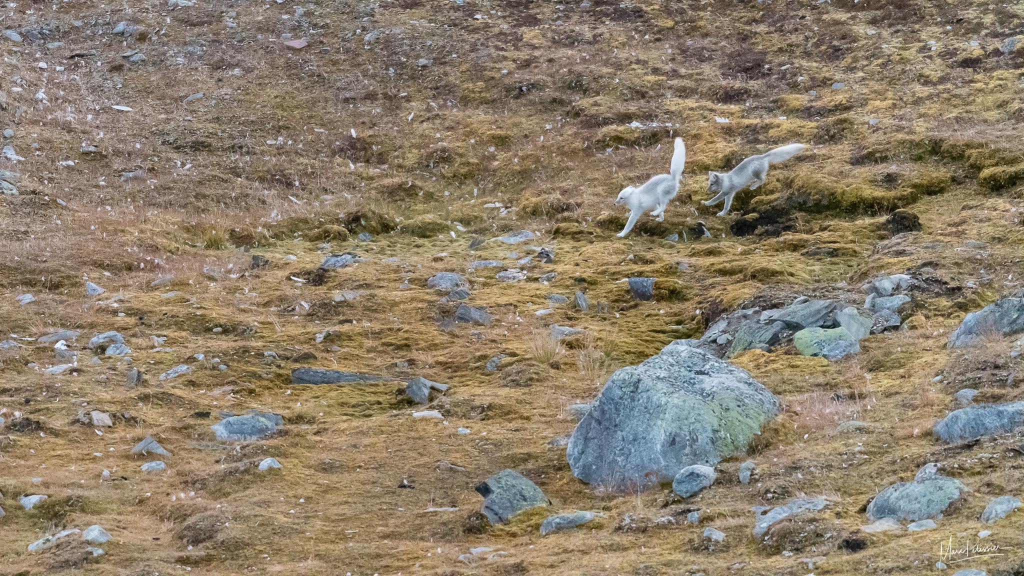 Arctic fox brother playing, Svalbard & Jan Mayen Islands