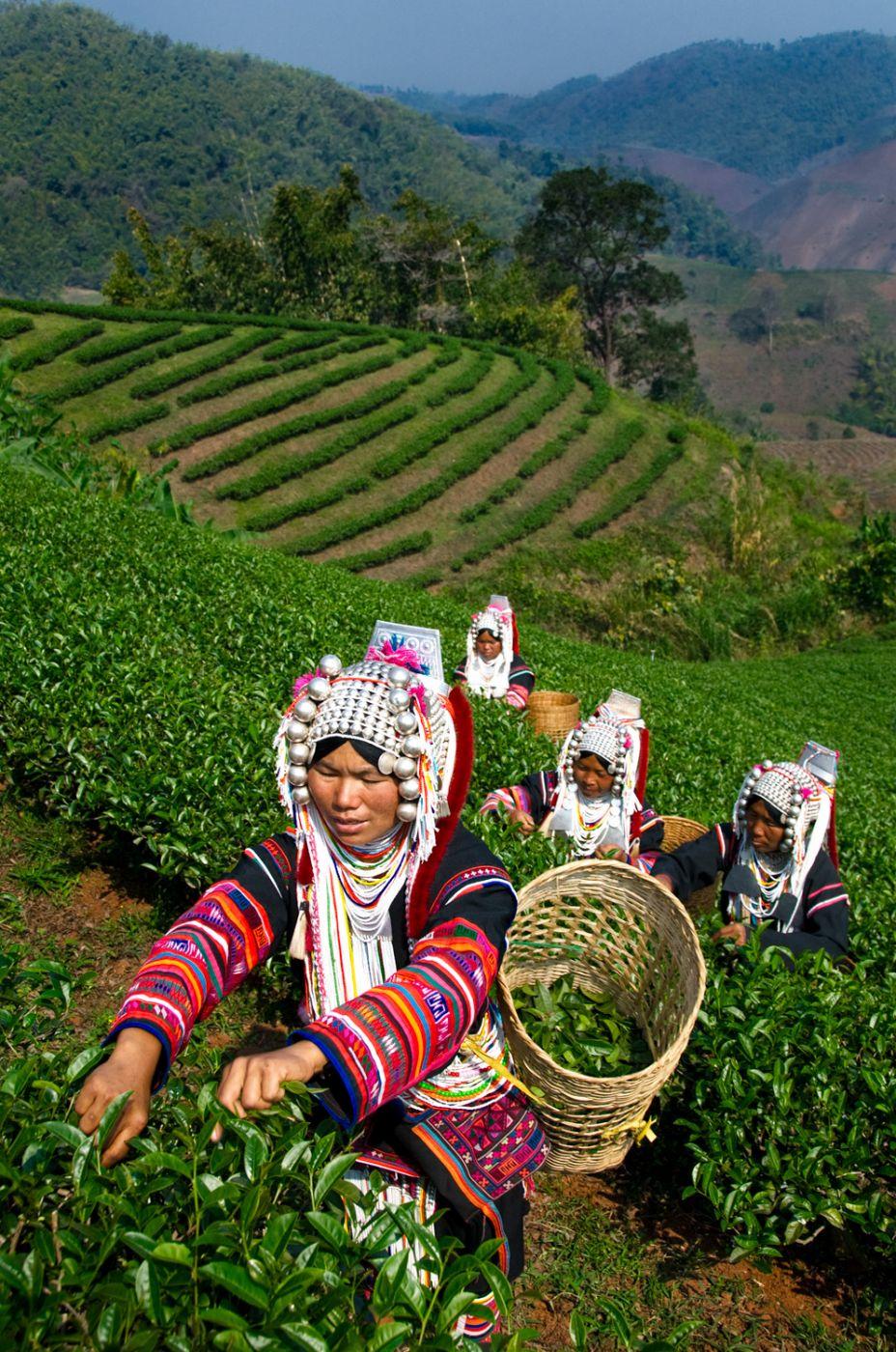 Doi Mae Salong Tea Plantation, Thailand