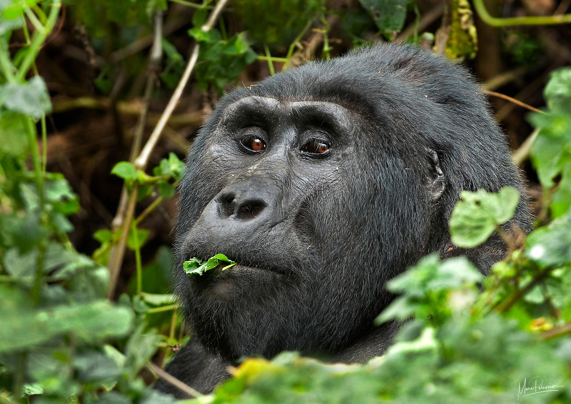 Gorilla in the mist, Uganda
