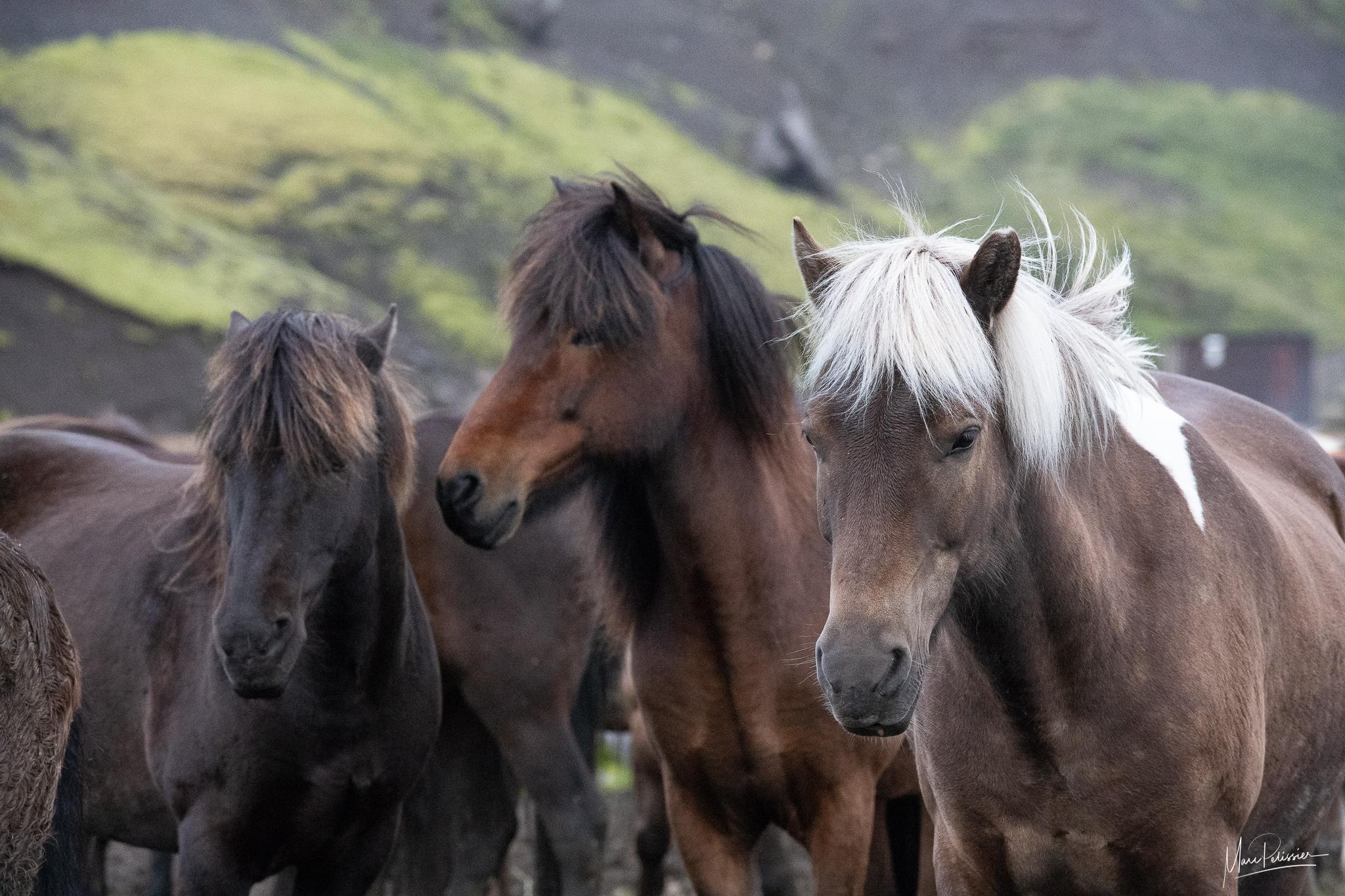 Kerlingarfjoll icelandic horses, Iceland