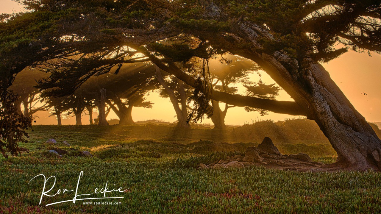 Cypress Trees at Pacific Grove, USA