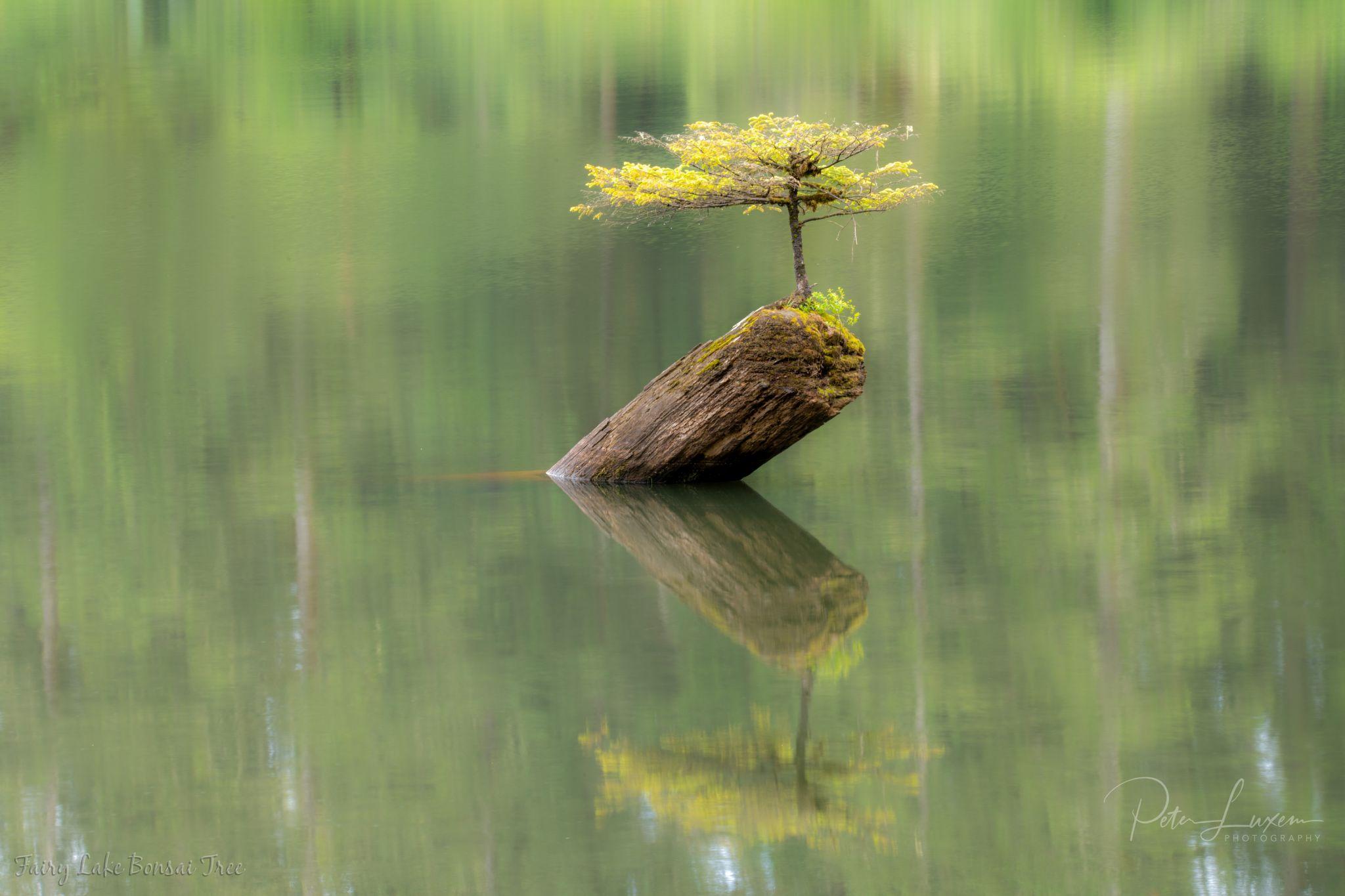 Fairy Lake Bonsai Tree, Canada