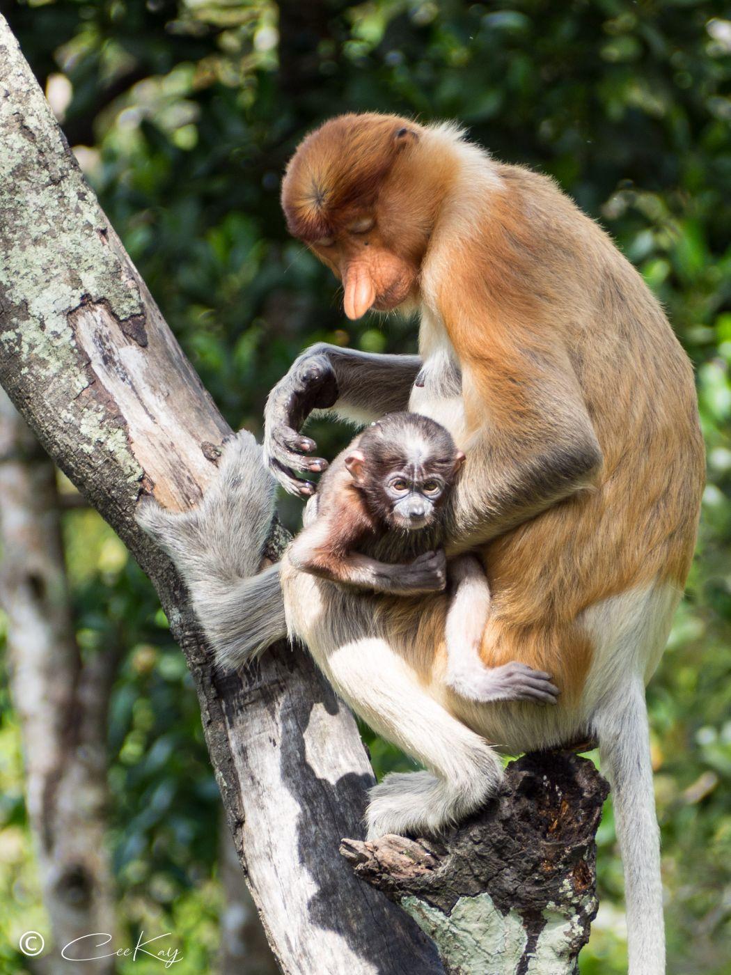 Labuk Bay Proboscic Monkey Sanctuary, Malaysia