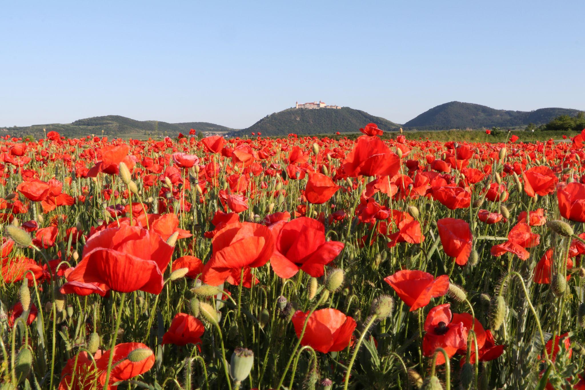 Red poppy field Göttweig, Austria