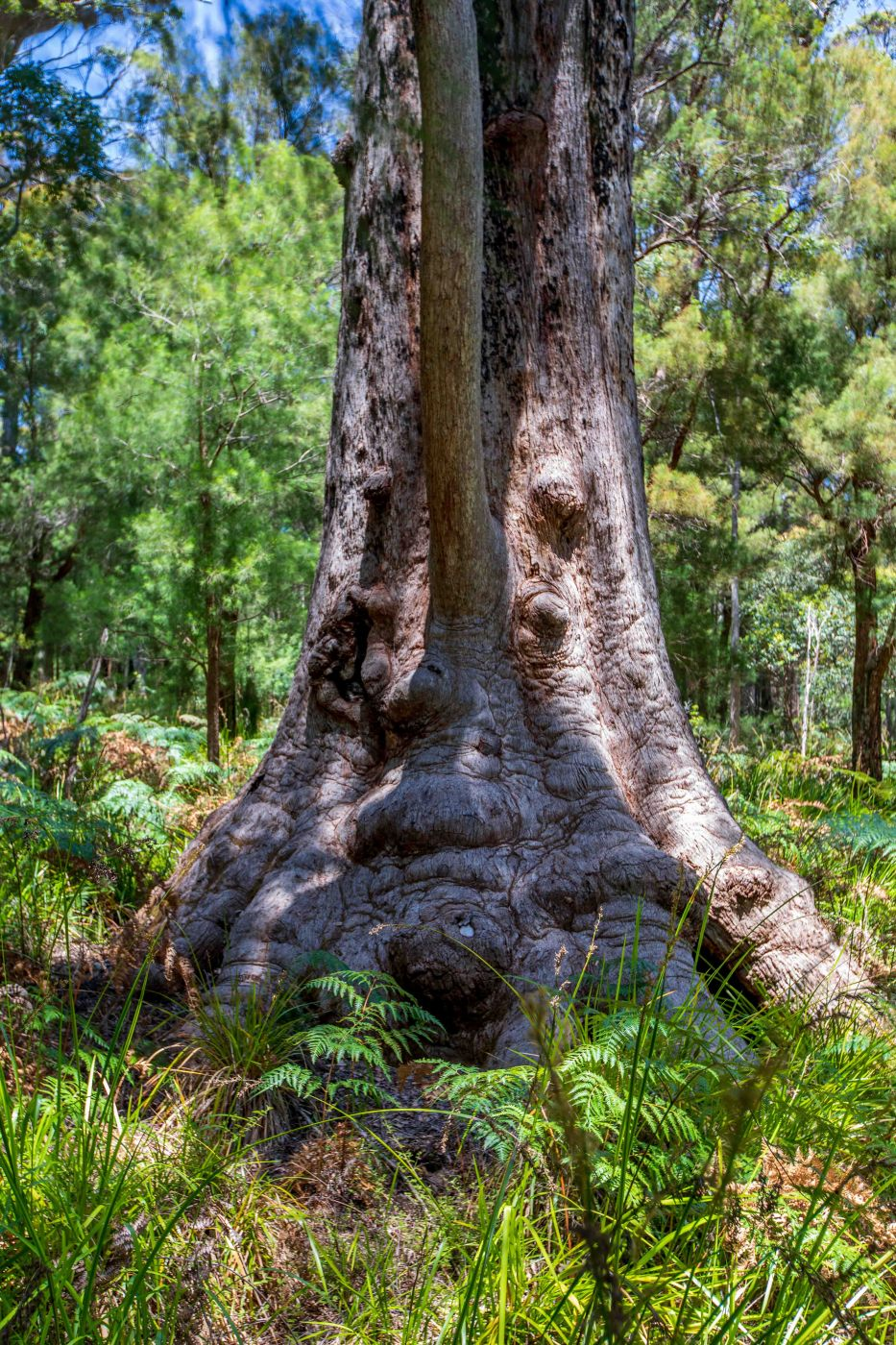 Face in the tree, Valley of the Giants, Walpole, WA, Australia
