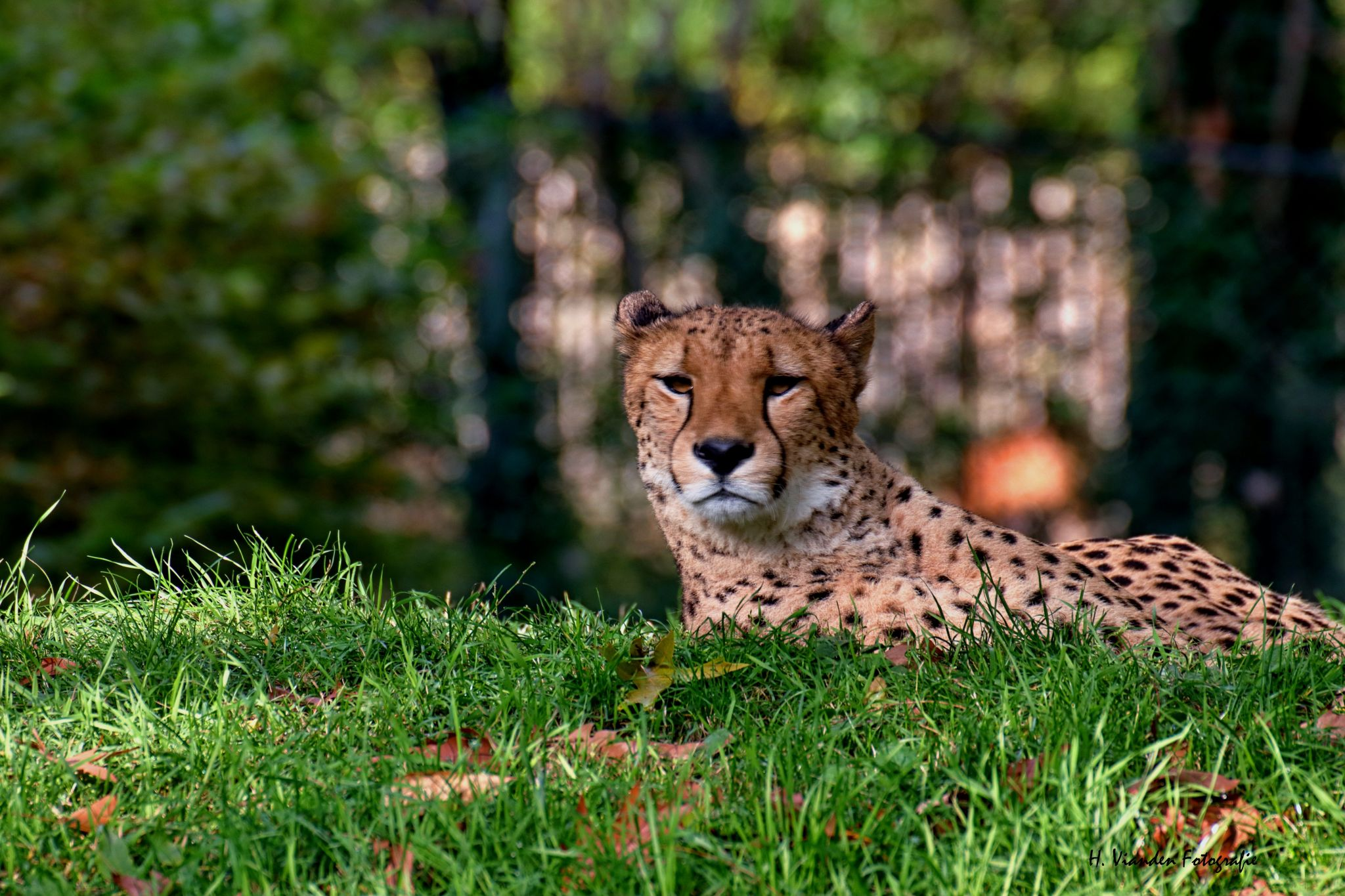 Gepard at Cologne Zoo, Germany