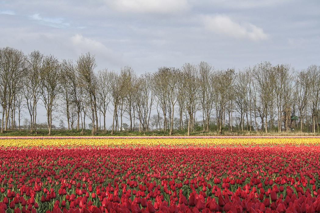 Tulip bulb farm, Netherlands