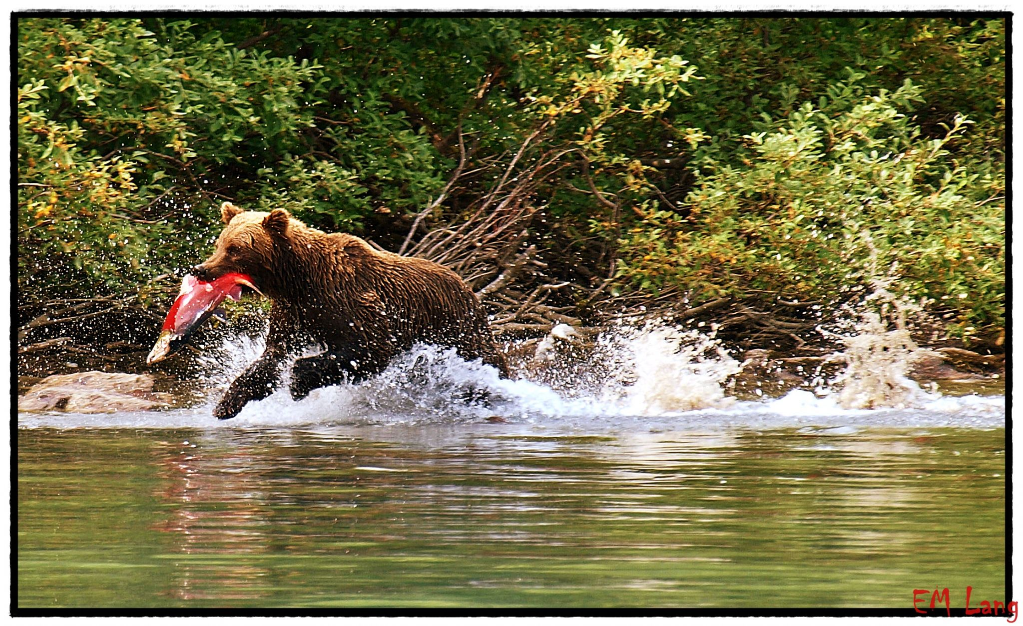 Alaska Wildlife Bear watching, USA
