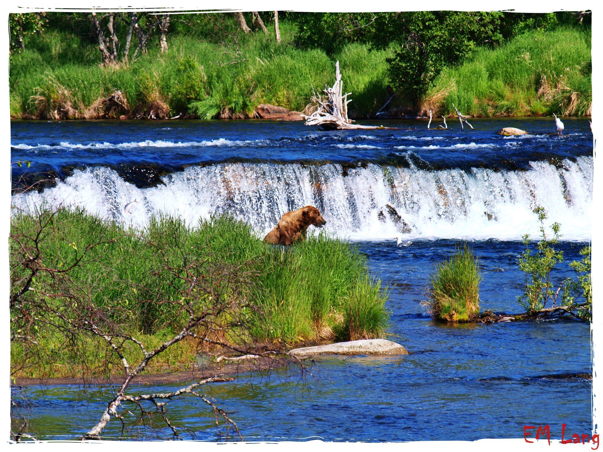 Brooks Falls Alaska Bear watching, USA