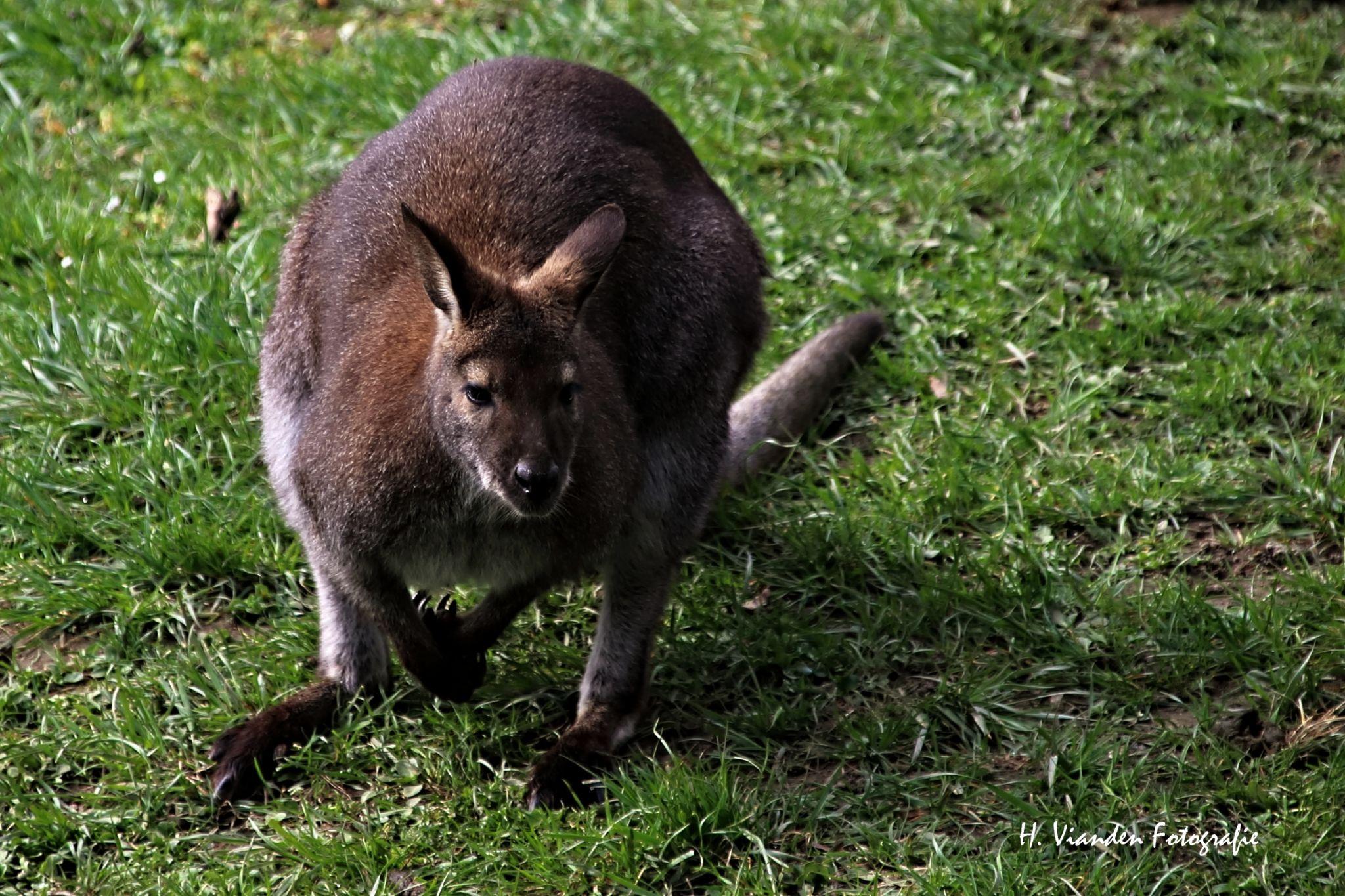 Aachener Tierpark - Kangaroo enclosure, Germany