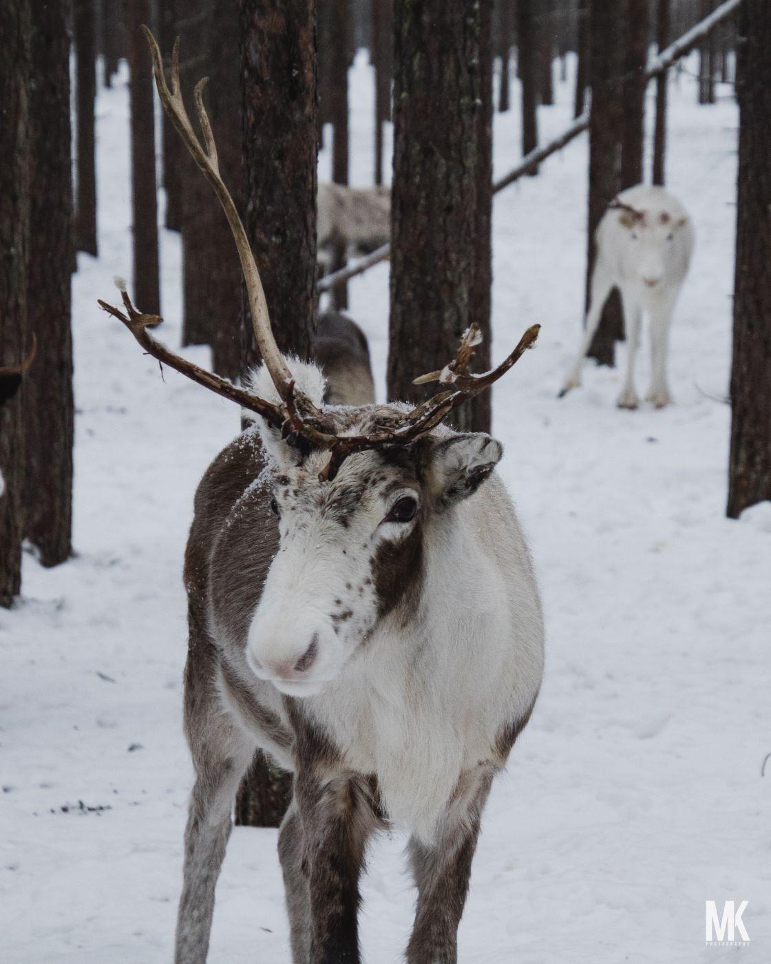 Reindeer Farm Piteå, Sweden, Sweden