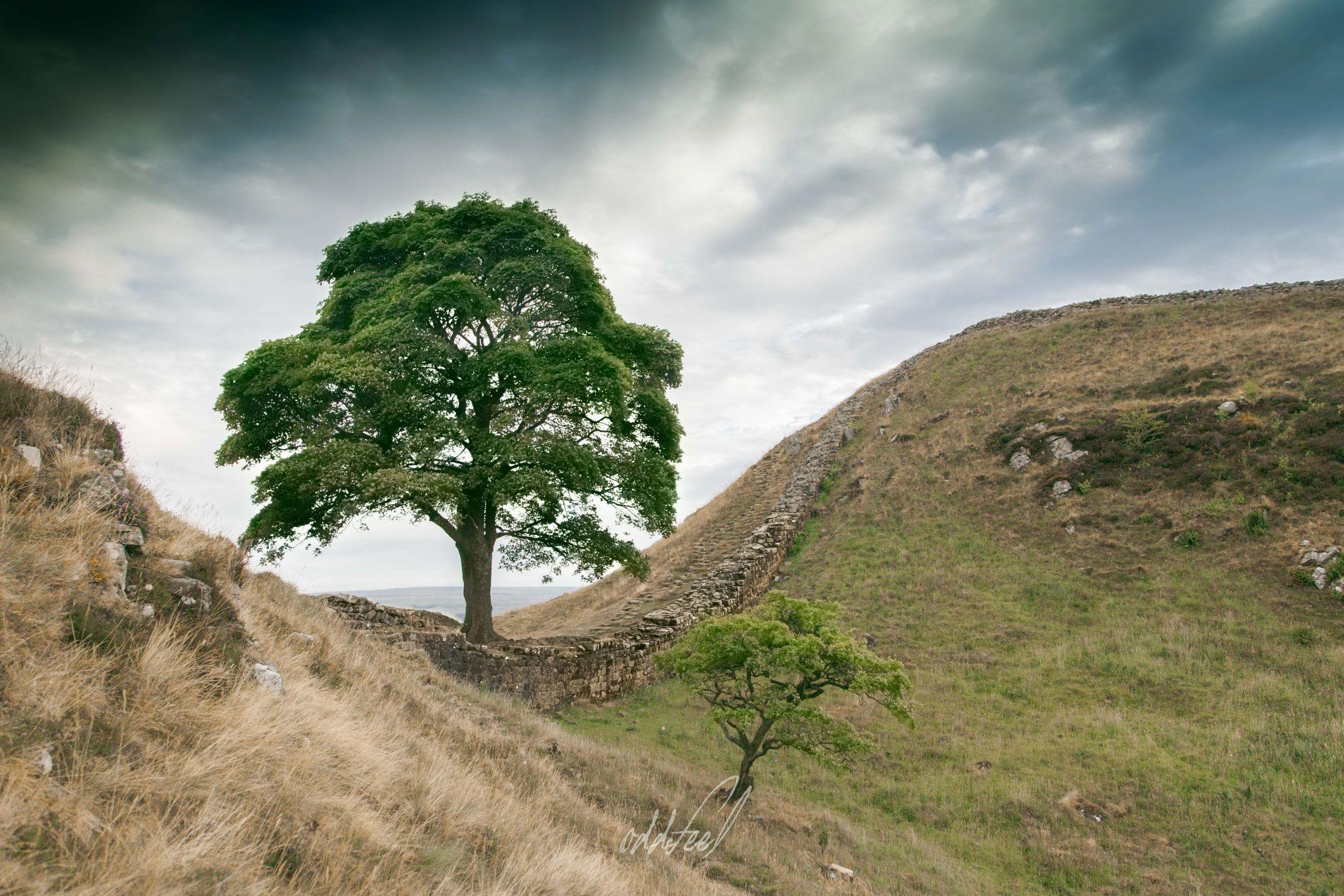 The Sycamore Gap Tree, United Kingdom