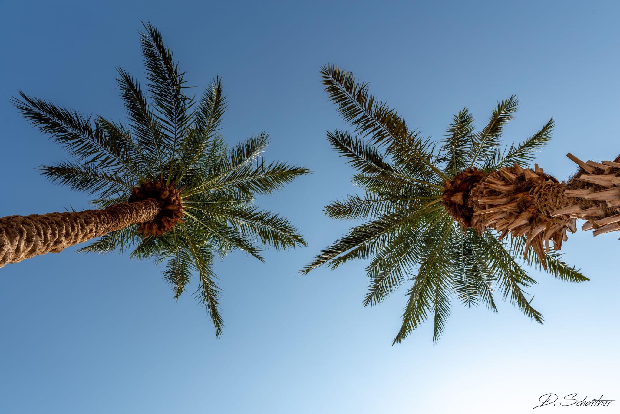 between 2 palm trees, Israel