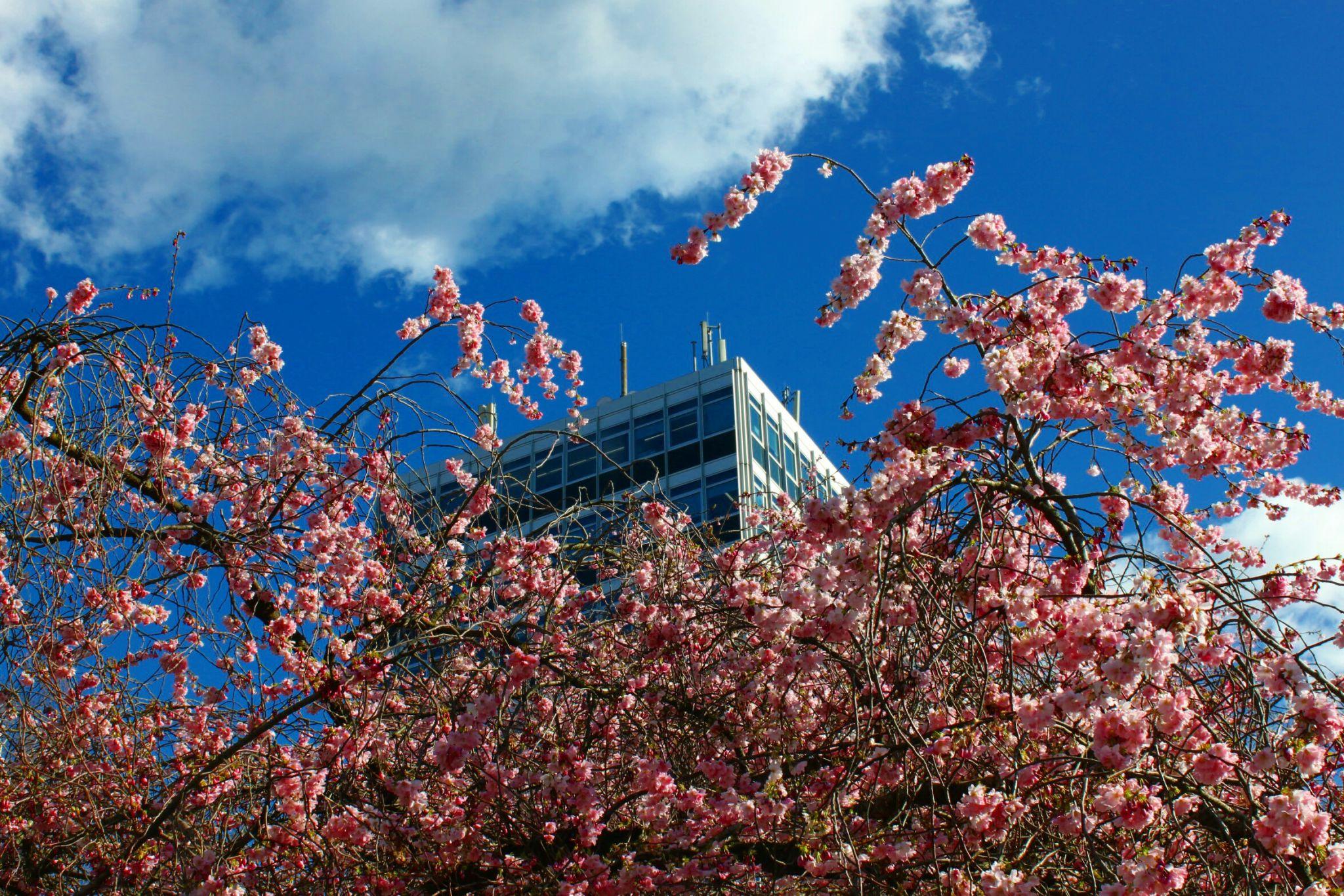 Kirschblüte am Servatiiplatz, Münster, Germany