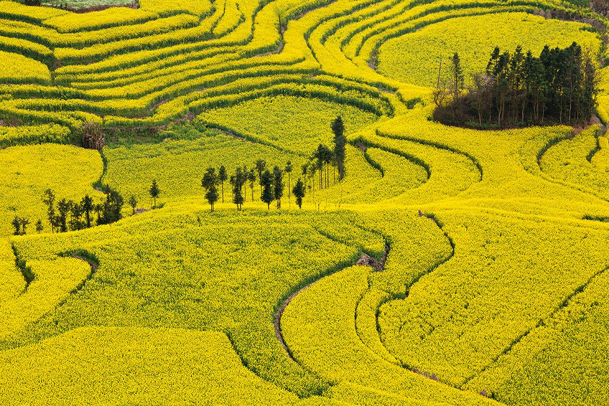 Rapsfelder in Luoping, China