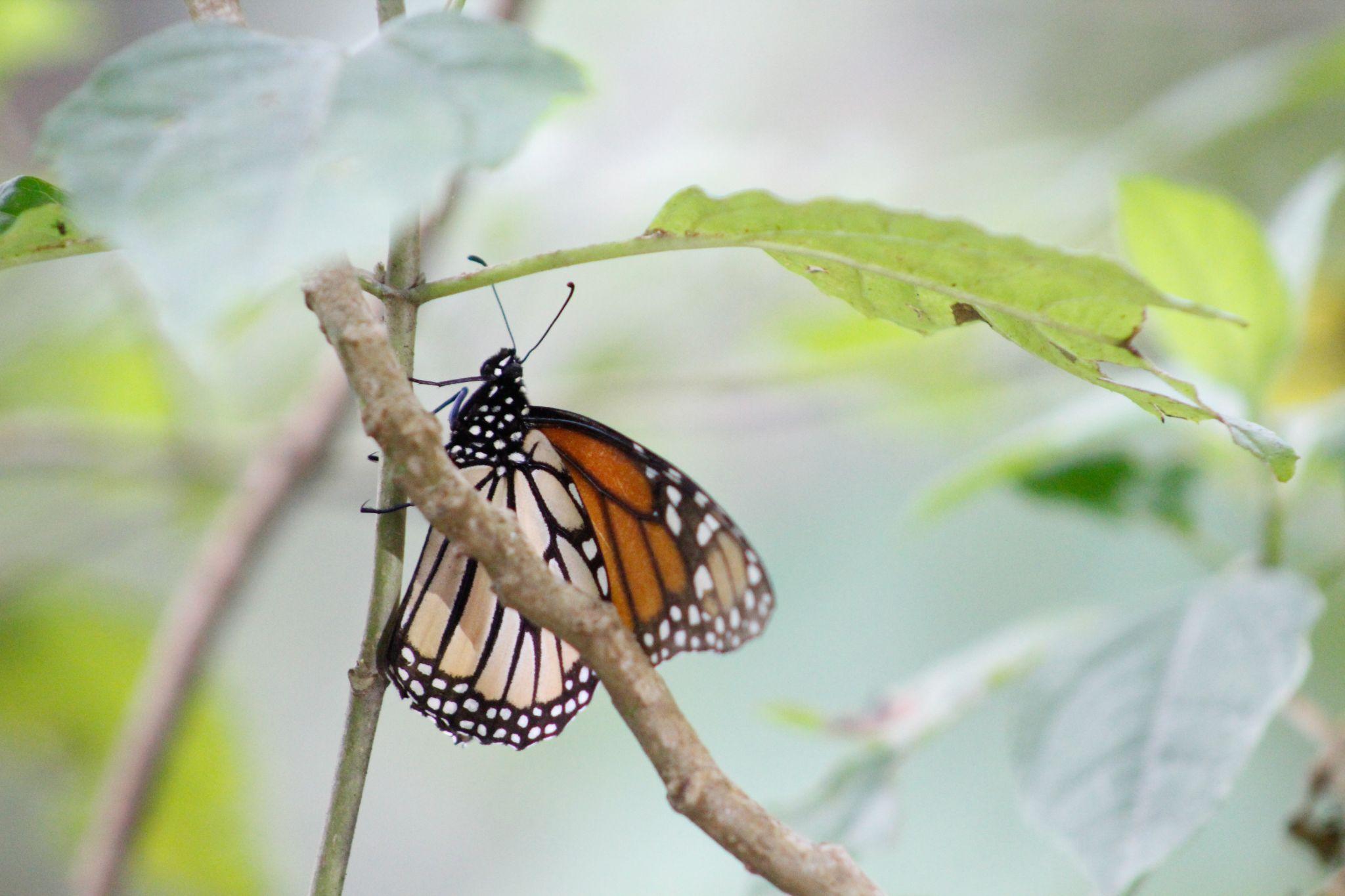 Santuario Piedra Herrada Monarch Butterfly, Mexico