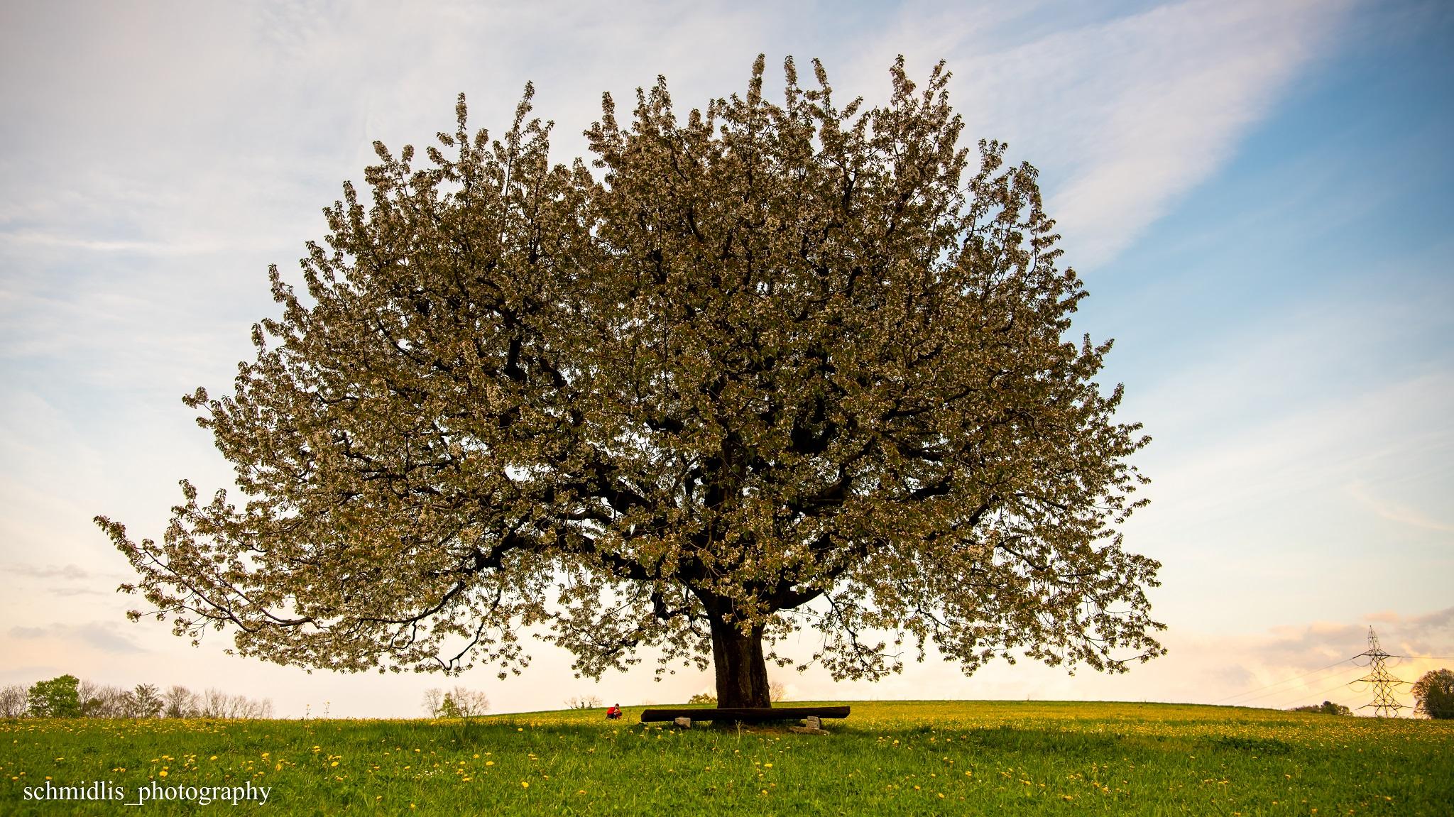 Kirschblütenbaum, Switzerland