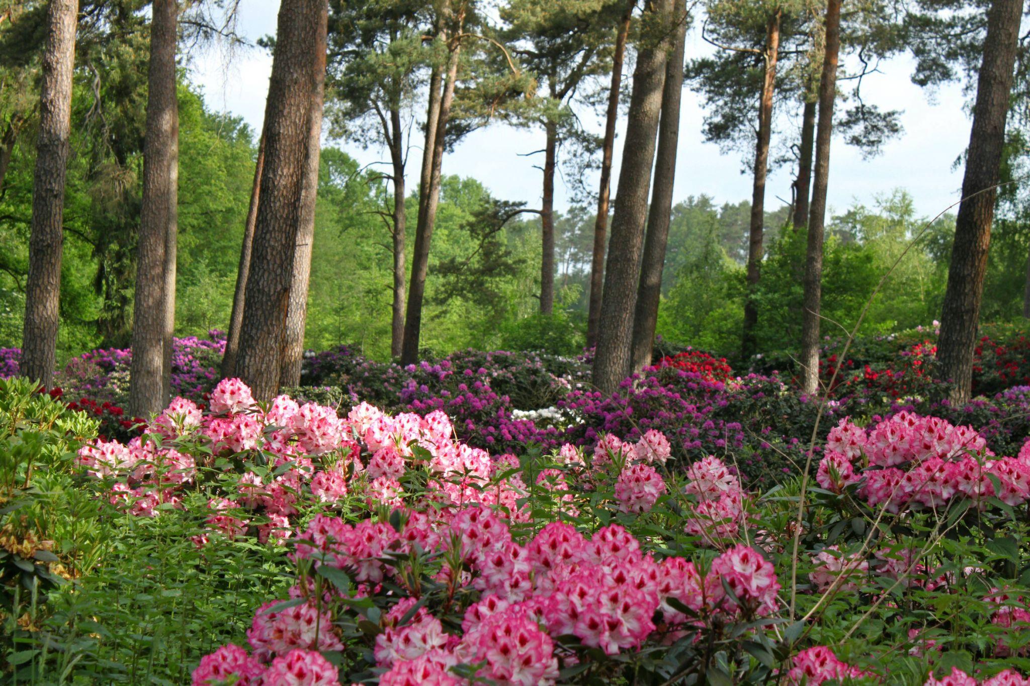 Rhododendronwald, Dülmen, Germany