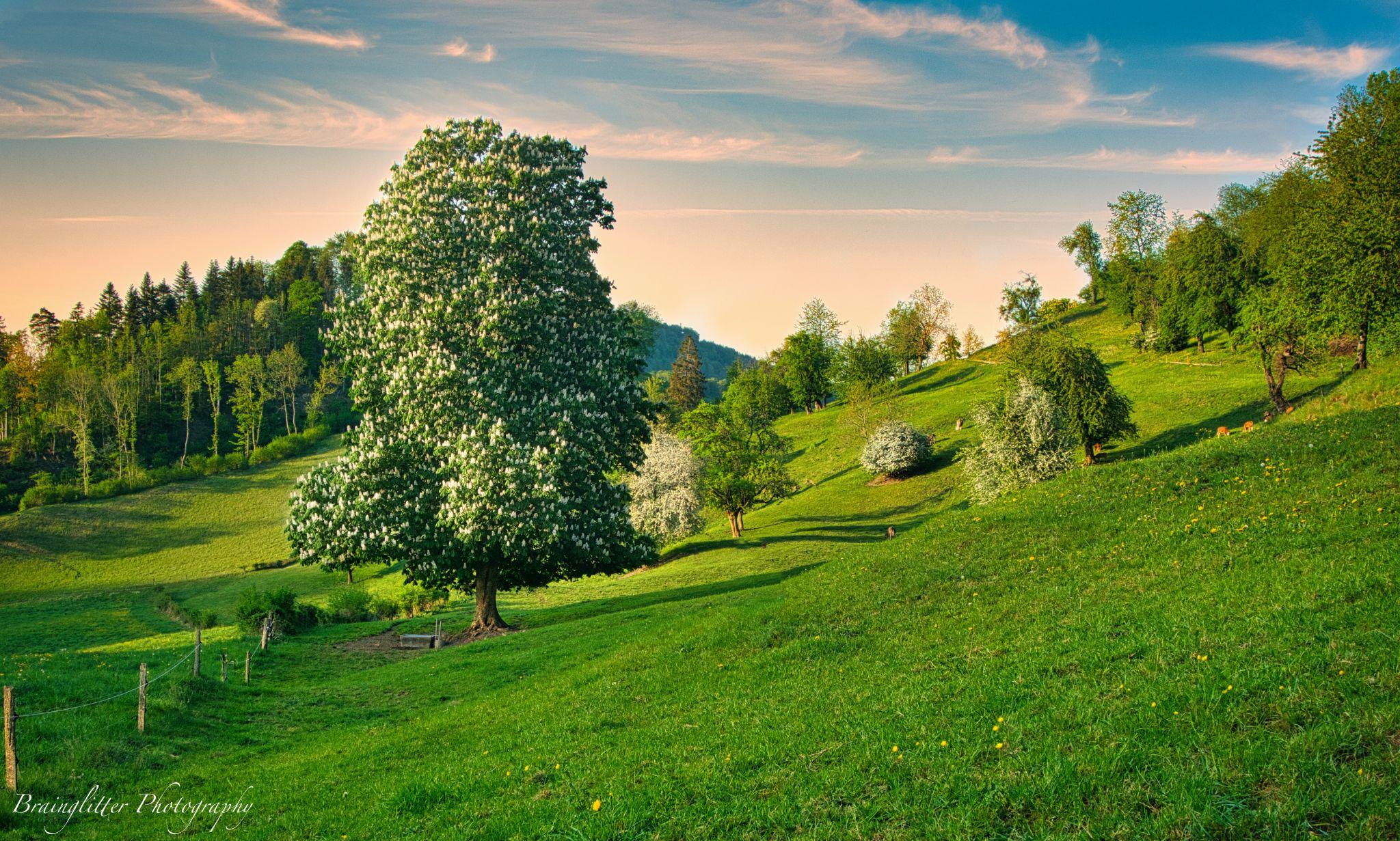Rosskastanie Belchen, Switzerland