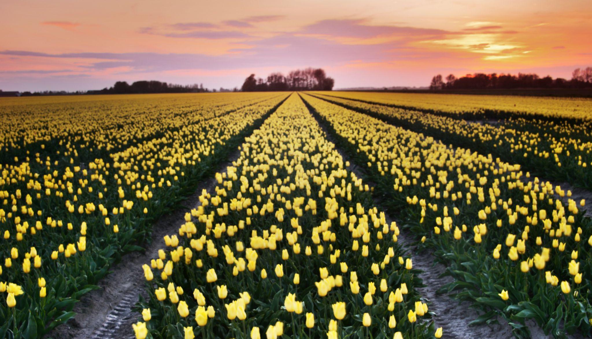 Tulip fields at sunset, Netherlands