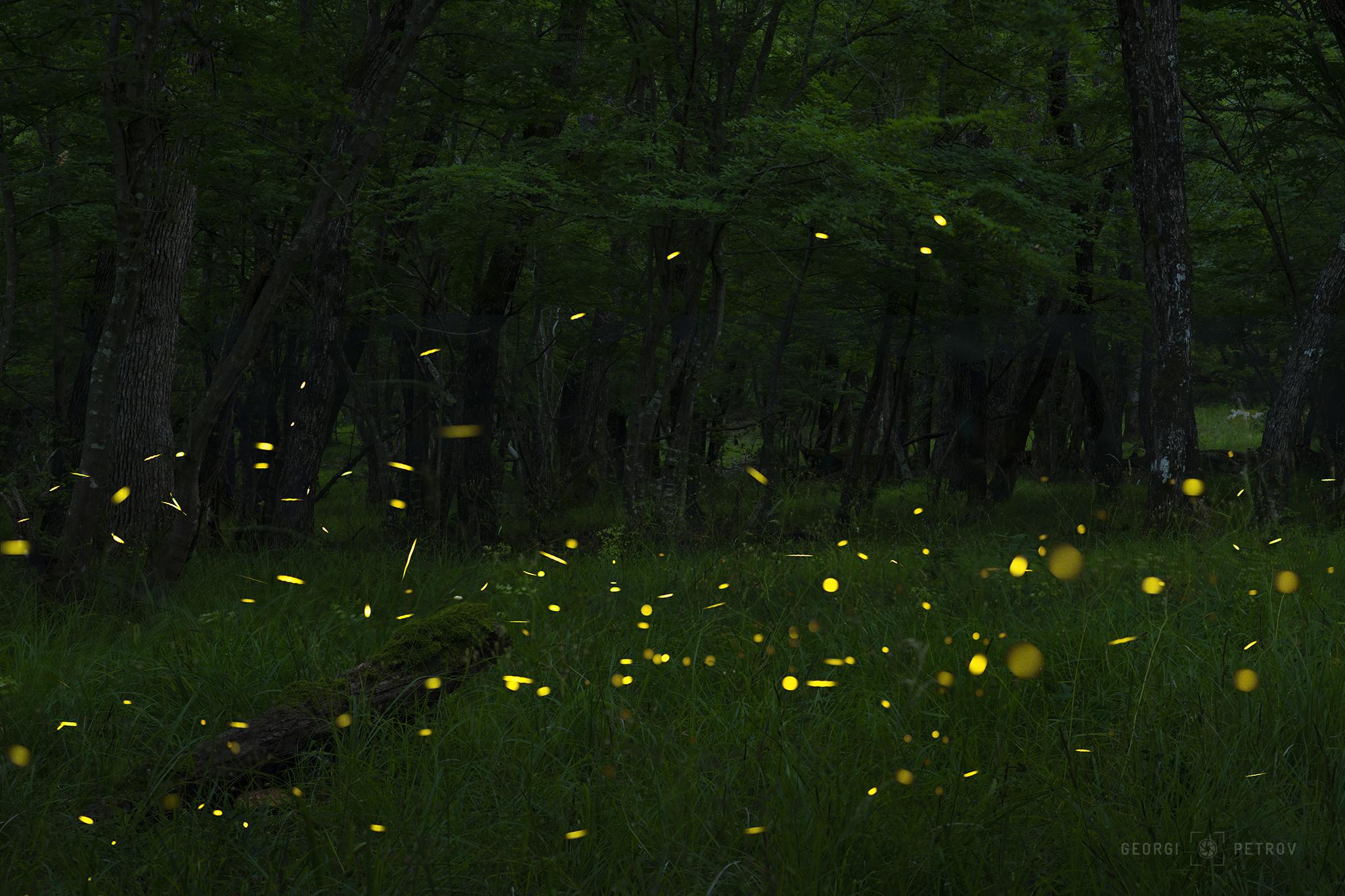Fireflies forest near Primorsko, Bulgaria