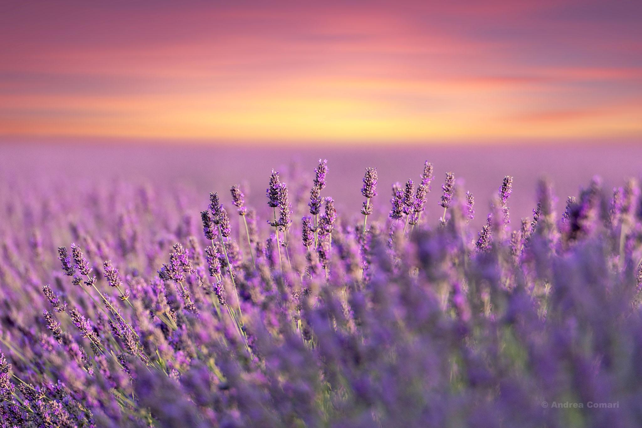 Lavender Field in Polesine, Italy