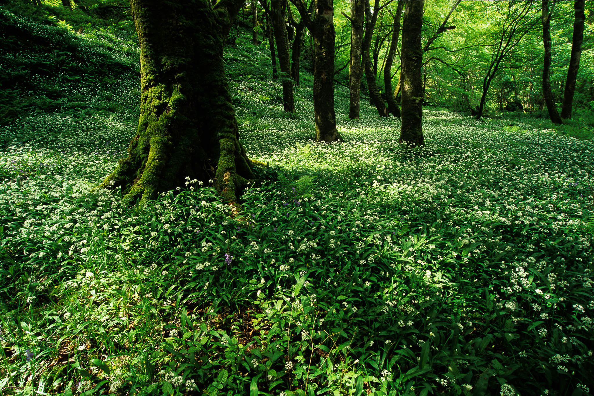 Wild Garlic Wood, United Kingdom