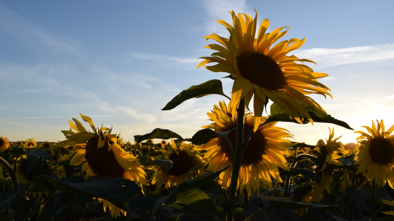 Bruern Sunflower Fields, United Kingdom