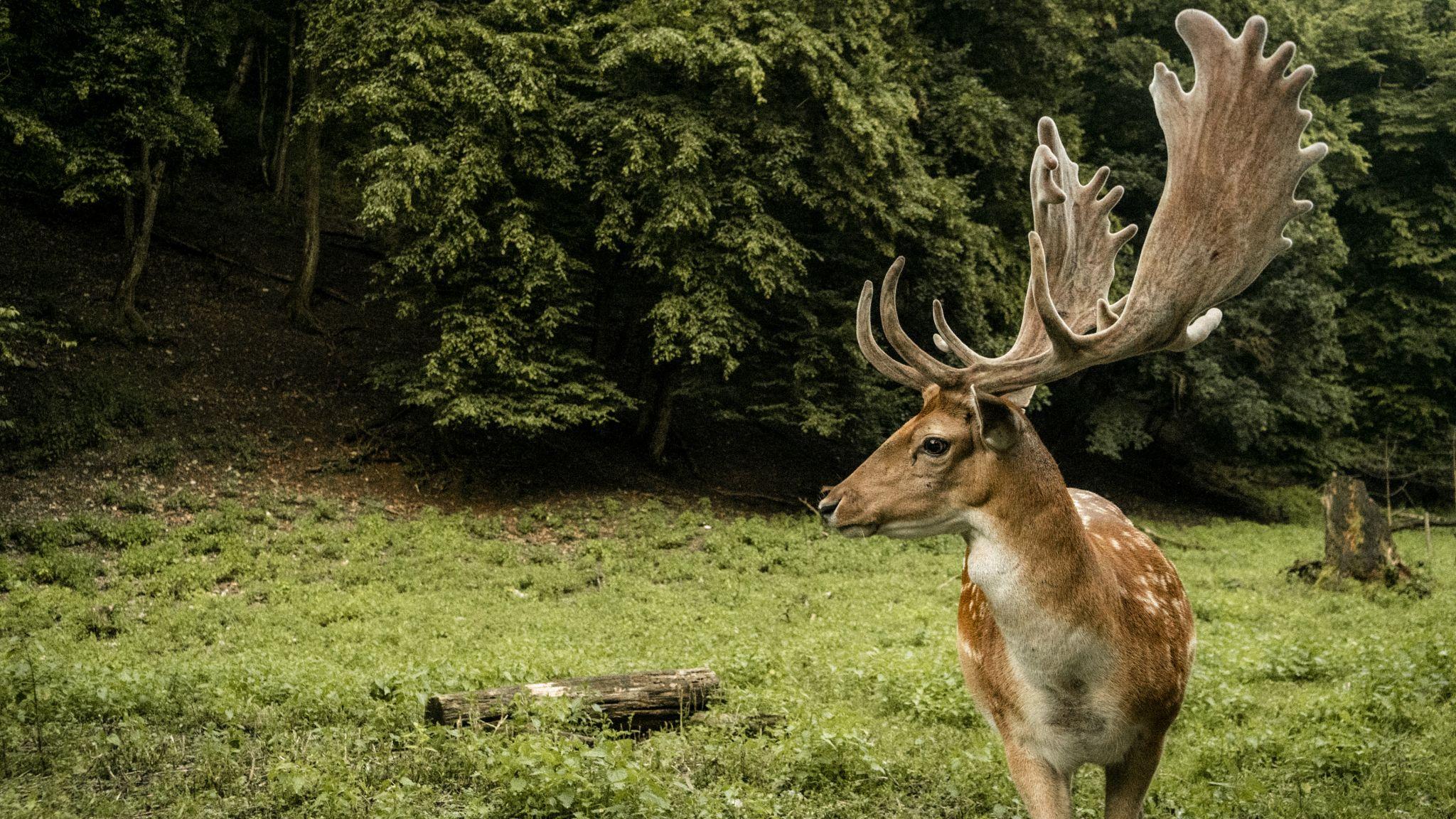 a young deer in Bükk Mountains,, Hungary