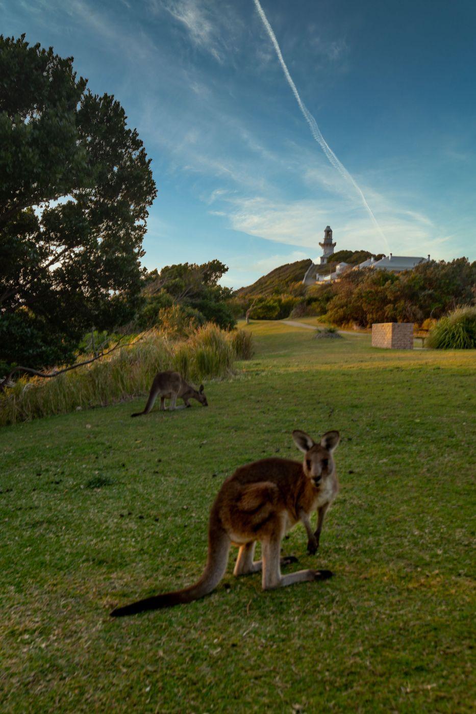 Kangaroo Smokey Cape Lighthouse South West Rocks NSW, Australia