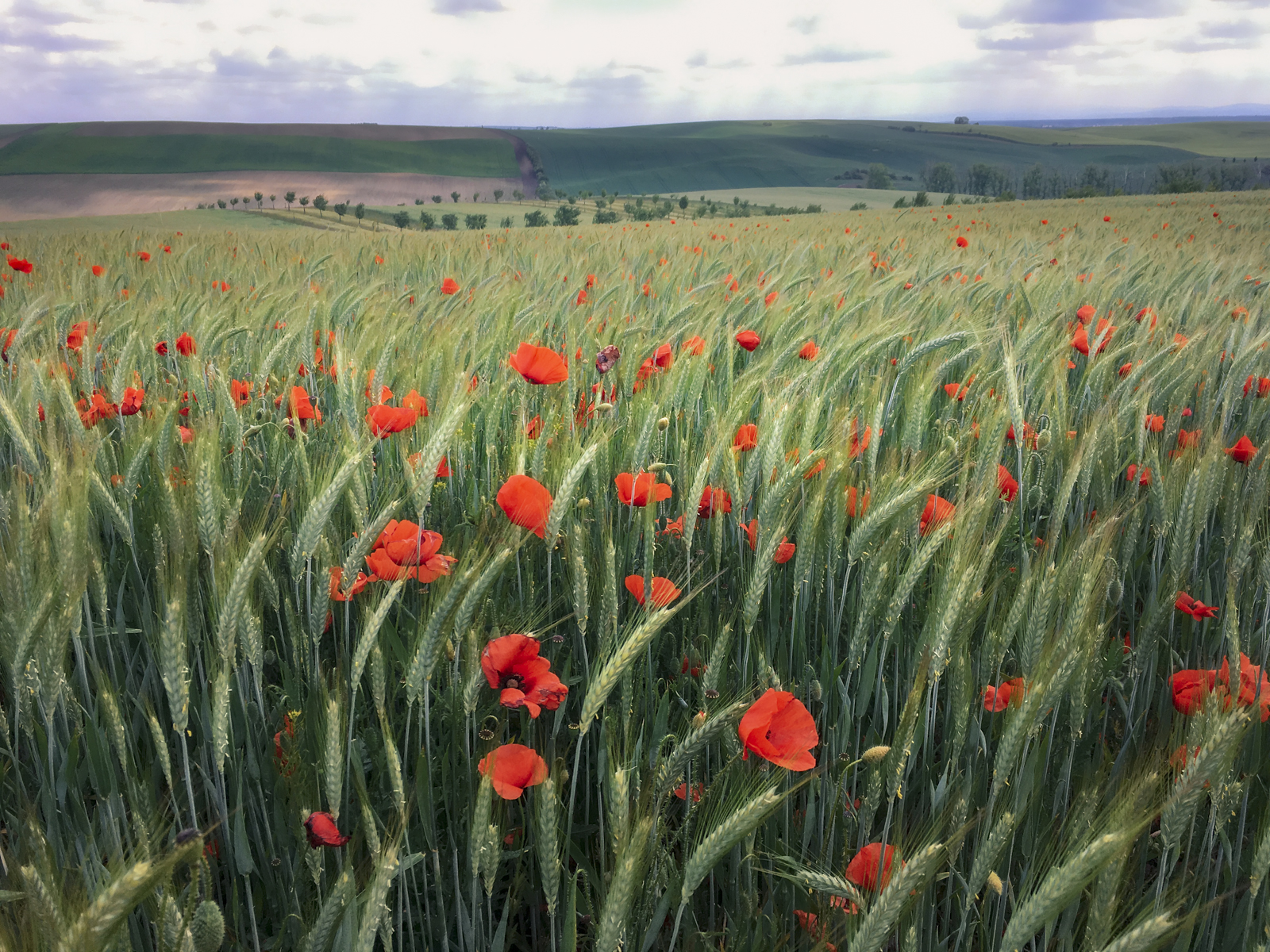 Blooming poppies at South Moravian meadow, Czech Republic