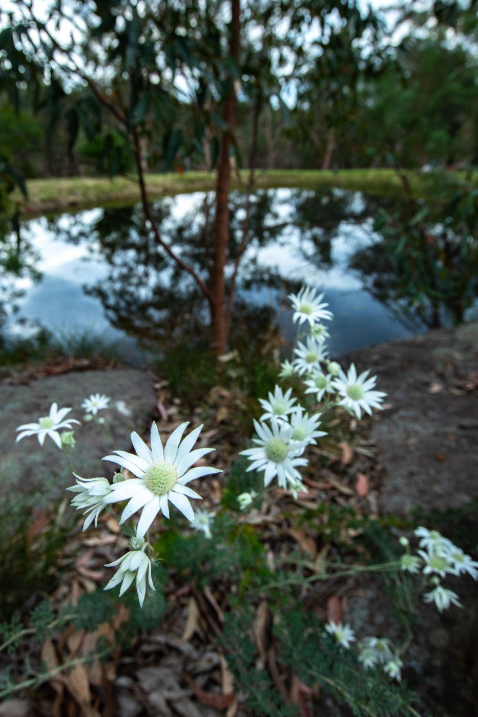 Flowers with Dam reflection Cattai Creek, New South Wales, Australia