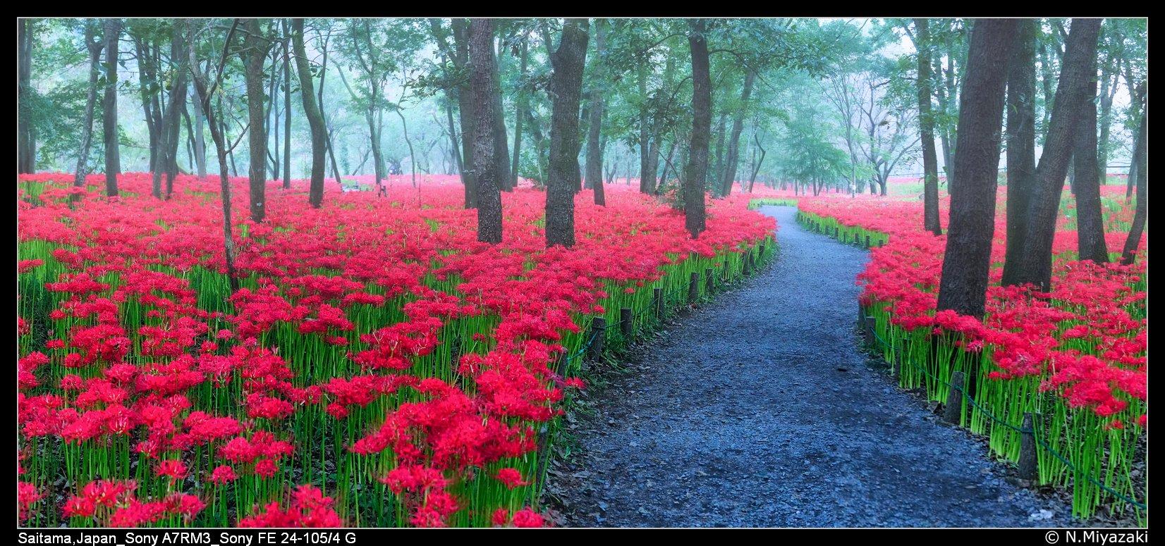 巾着田曼珠沙華公園 Kinchakuda Pearl Shaka Park, Japan