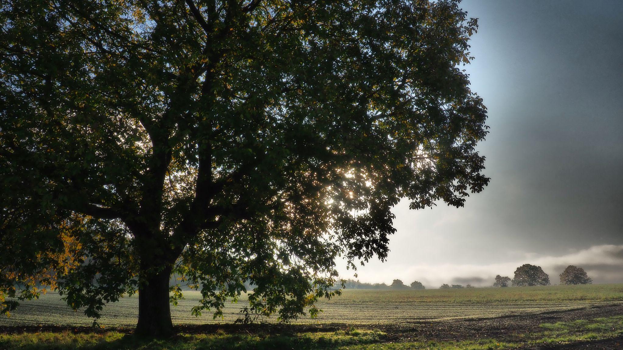 Old Oaktree, Germany