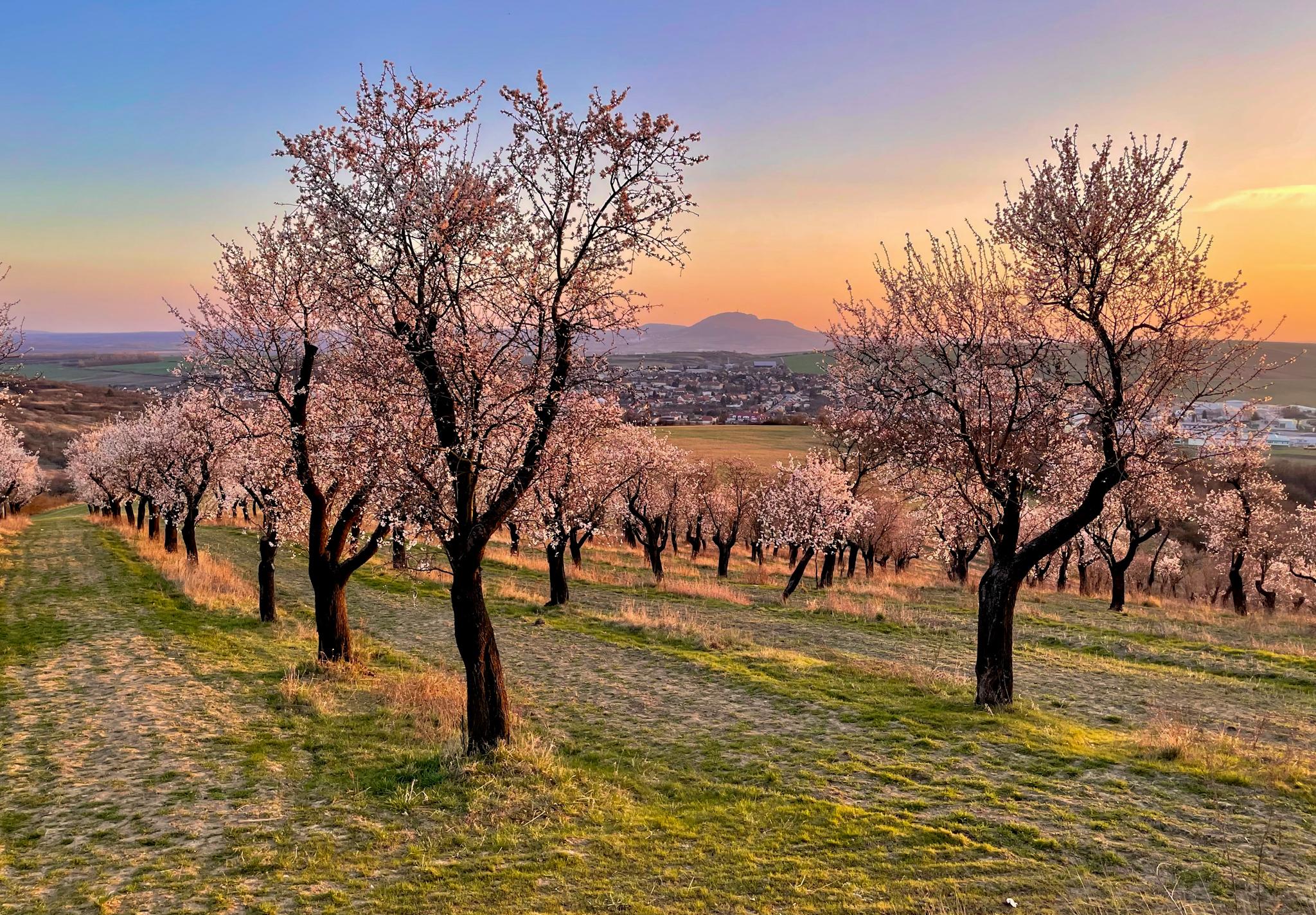 flowering almond orchard, Czech Republic