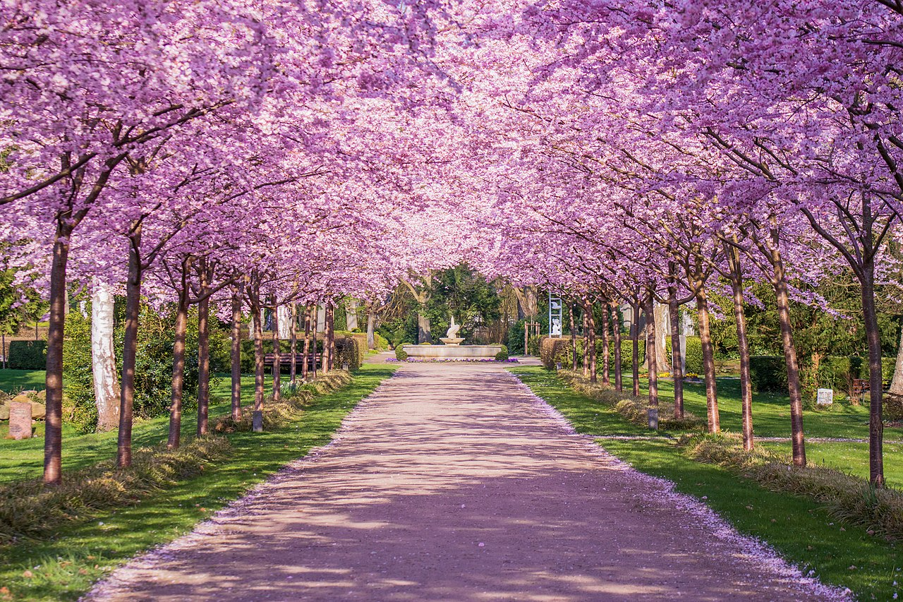 The Cherry Blossom Alley, Germany