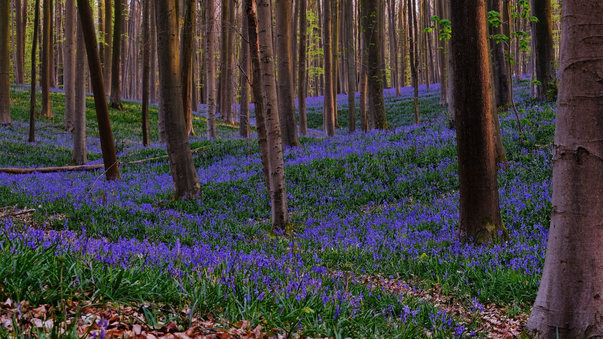 Bluebells, Belgium
