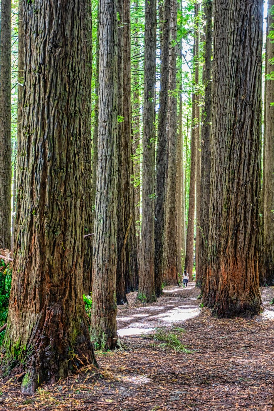 The Redwoods Otways, Beech Forest, Victoria, Australia