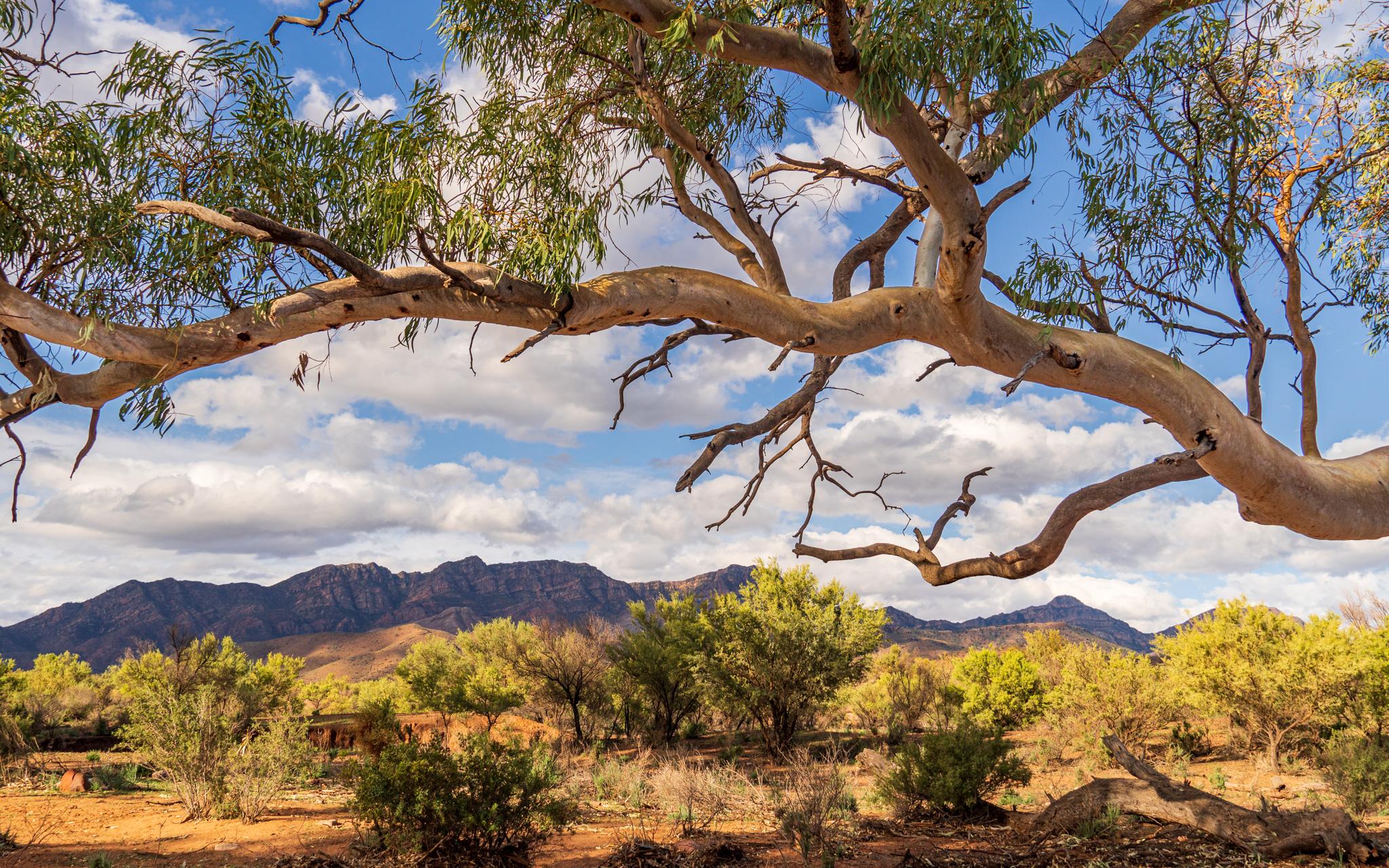 Tree Framing Wilpena Pound, Australia