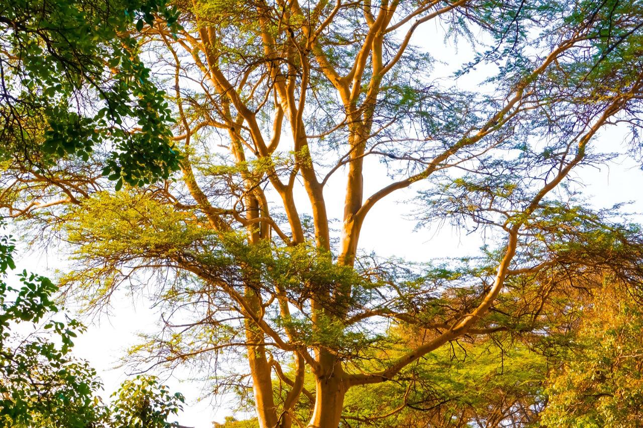 Trees, Kenya