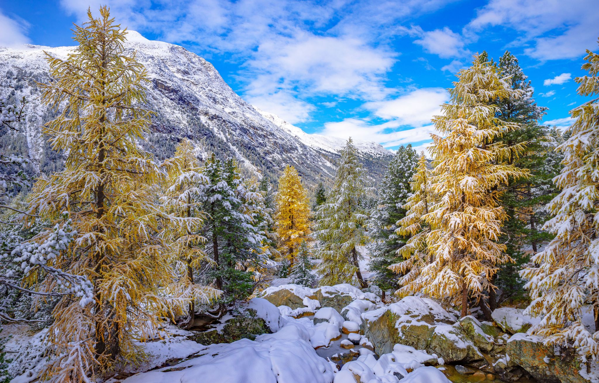 The snow-covered larch gold in the Engadine, Switzerland