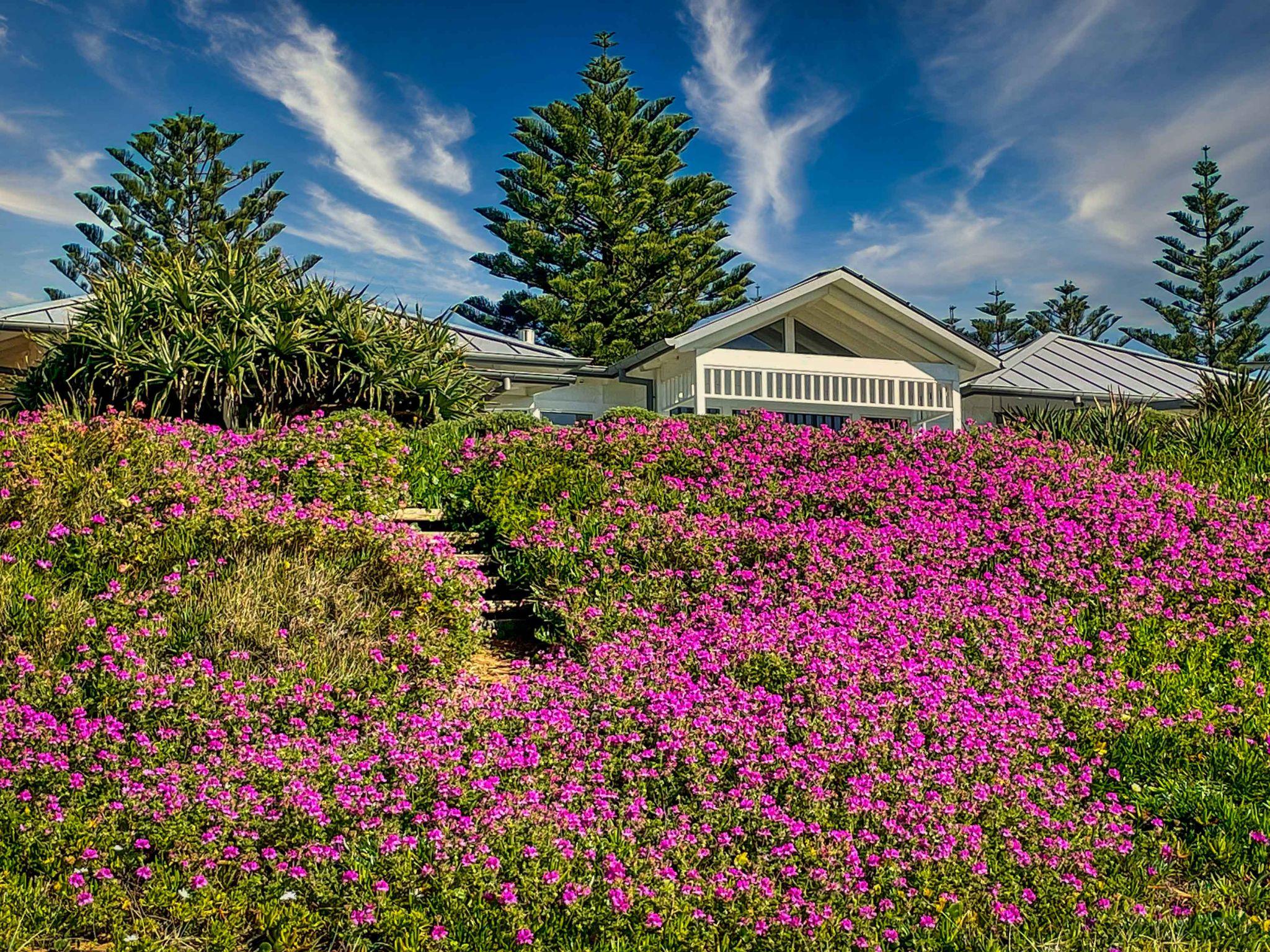 Flower carpet, The Basin Mona Vale, Australia